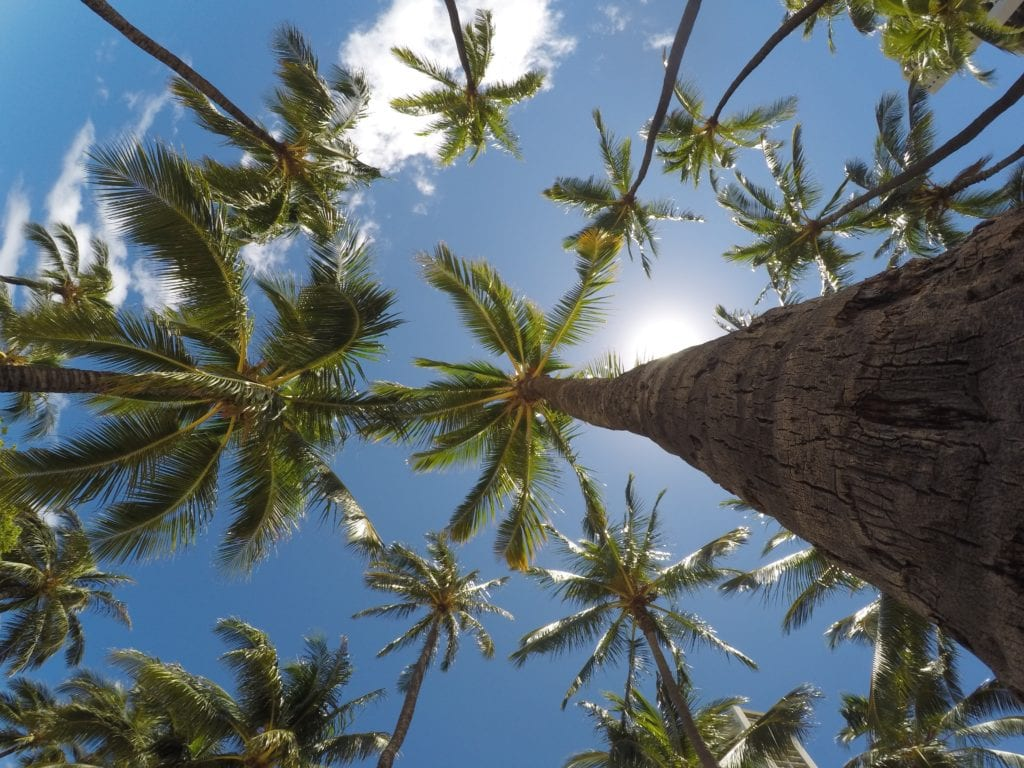 Coconut Trees Offering The Benefits Of Coconut Oil