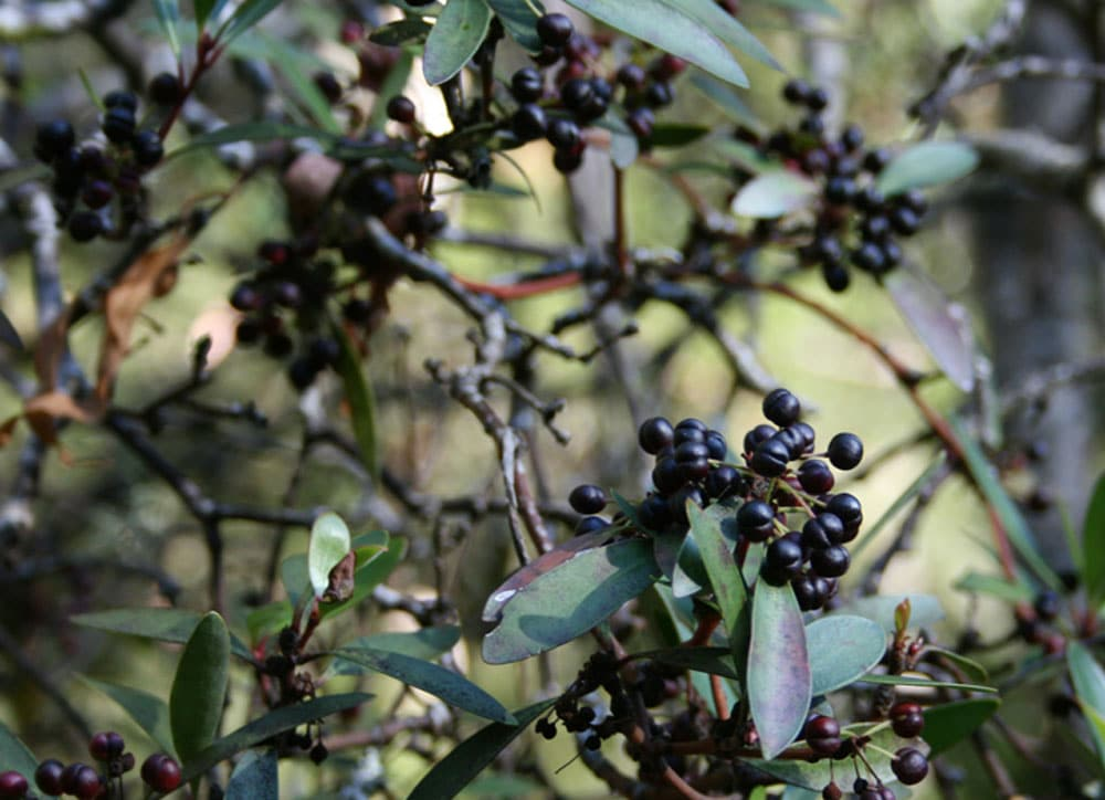 Mountain Pepper Berry as a skincare superfood